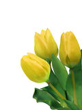 Bright yellow tulips isolated on white. EPS 8 Stock Photography