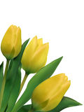 Bright yellow tulips isolated on white. EPS 8 stock illustration