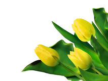 Bright yellow tulips isolated on white. EPS 8 Stock Image