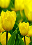Bright yellow tulips Stock Images