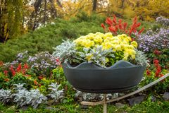 Bright yellow varietal chrysanthemums in a big pot with background of a bright flowerbed in park. Floral decor of chrysanthemums royalty free stock images
