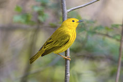 Bright yellow warbler bird in a wildlife landscape with a green forest scene Stock Photo