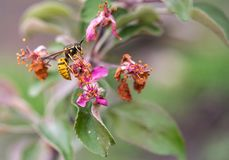 Wasp on a decaying pink flower of an apple tree. Bright yellow wasp eating from a decaying pink and purple flower of an apple tree stock photography