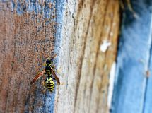 Yellow wasp on grey and tan wood. Bright yellow wasp on grey and tan wood high contrast and vivid colors. Colorful insect, black and yellow stock photography