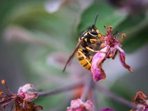 Wasp sitting on a decaying pink flower of an apple tree stock photos