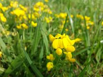 Bright yellow wild flower in a meadow. Bird`s-foot Trefoil, Lotus corniculatus. stock image