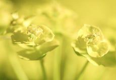 Bright yellow wild flowers background Royalty Free Stock Photo