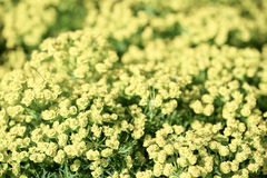Bright yellow wild flowers background Royalty Free Stock Photos