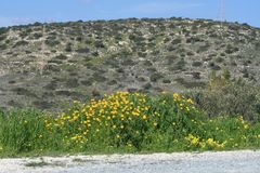 Yellow wildflowers by the mountain road. Bright yellow wildflowers and green grass growing by the mountain road on a spring sunny day stock photos