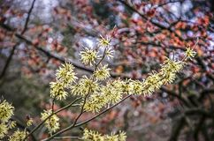 Bright yellow witch hazel. Bright yellow flowers of a witch hazel or hamamelis, with a red version specimen blurred in the background on a sunny day in winter stock photo