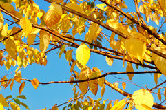 Bright yellowed leaves of  bird cherry tree against blue sky - autumn background Stock Image