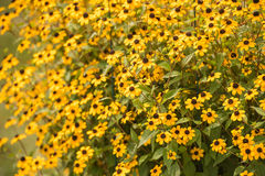 bright yellows shine from the brown eye susan Royalty Free Stock Photo