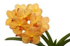 Bright yelloww flowers of an orchid vanda Stock Photos