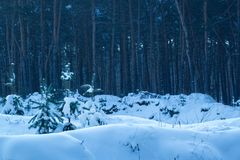 Bright young fir trees grow in the snow against the background of huge pines Stock Photo