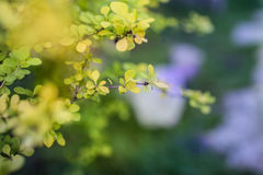 Bright young foliage of barberry closeup. The barberry in the spring Stock Photography