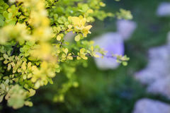 Bright young foliage of barberry closeup. The barberry in the spring Royalty Free Stock Images