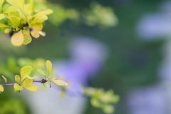 Bright young foliage of barberry closeup. The barberry in the spring Stock Image
