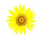 Bright young sunflower Stock Photo
