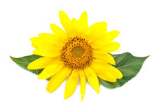 Bright Young Sunflower Stock Image