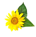 Bright young sunflower Royalty Free Stock Image