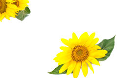 Bright young sunflower Stock Photos