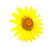 Bright young sunflower Royalty Free Stock Photo