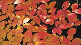 Large 16x9 Display banner of these Autumn or Fall leaves. royalty free stock photography