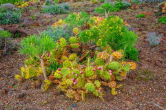 Brightful cactuses in Tenerife, Canary Islands. Stock Photography
