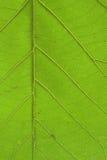 Brightly closeup of teak leaf Stock Photos