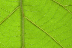 Brightly closeup of teak leaf texture detail Royalty Free Stock Image