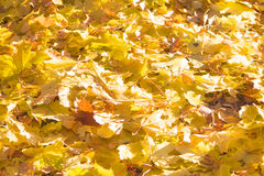 Brightly colored autumn leaves. Colorful Natural background Stock Images