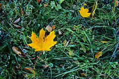 Brightly colored autumn leaves with dusting of frost stock image