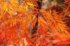 Brightly colored autumnal color of a Japanese sliced maple Japanese maple with orange yellow red maple leaves. Brightly colored autumnal color of a Japanese stock photography