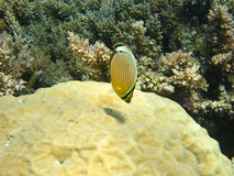 Brightly colored butterfly fish and coral Royalty Free Stock Image
