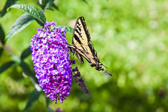 Brightly Colored Butterfly on a Purple Hyacinth Flower Royalty Free Stock Photo