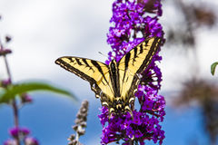 Brightly Colored Butterfly on a Purple Hyacinth Flower Stock Images