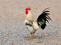 A brightly colored cockerel in a field Royalty Free Stock Image