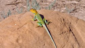 Collared Lizard in Utah royalty free stock images