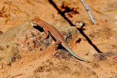 Brightly Colored Desert Lizard. A brightly colored Side-Blotched Lizard basks on the cryptobiotic sand near Moab, UT Stock Image