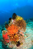 Brightly colored feather stars on a reef Stock Photo