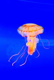 Brightly colored jellyfish. Illuminated jellyfish floating in the water Royalty Free Stock Photography