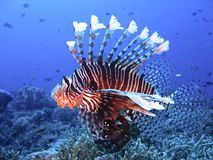 Brightly colored lion fish in deep blue water. A lion fish swimming in a pristine coral reef Stock Photos