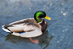 Brightly colored male mallard duck Anas platyrhynchos. View from above of brightly colored male mallard duck Anas platyrhynchos; water drops shining on its head Stock Photos