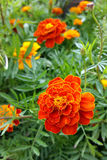 Brightly colored marigold. The bright colors of marigolds Stock Photos