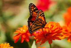Brightly colored monarch butterfly on an orange flower. Royalty Free Stock Image