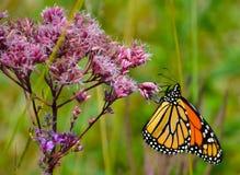 Brightly colored Monarch clutching Joe Pye Weed pink flower. Joe Pye weed, Eupatorium, herbaceous flowering medicinal plants. Eutrochium. Food source for stock photos