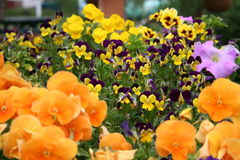 Brightly Colored Pansies stock photography
