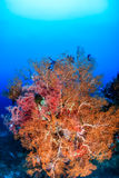 Brightly colored sea fans Stock Photos