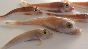 Brightly colored sea fish - Red Gurnard, on white background.  stock footage