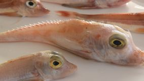 Brightly colored sea fish - Red Gurnard, on white background.  stock video